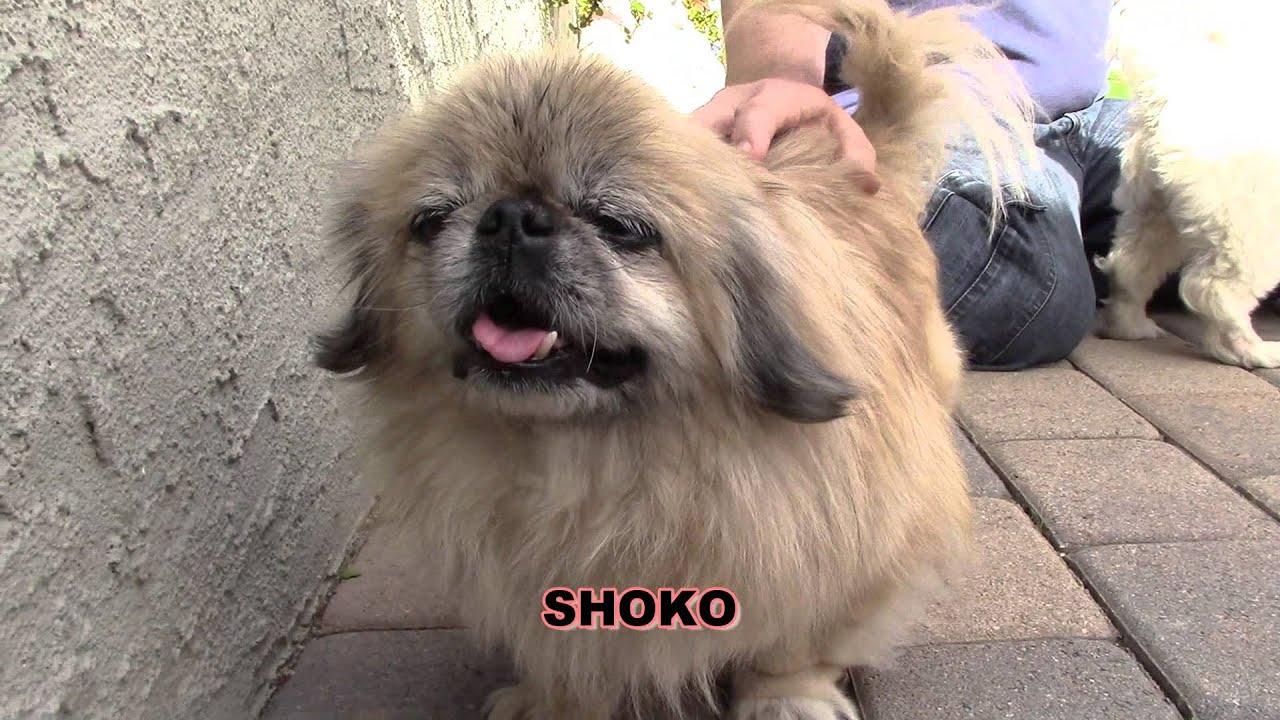 Pekingese Puppies for Adoption - California USA