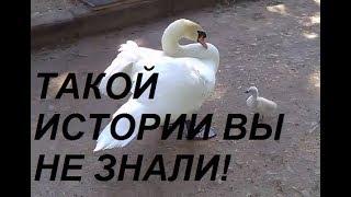 Отец-одиночка лебедь растит птенца! Swan story!
