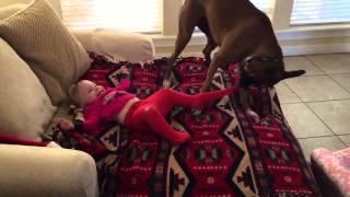 Собака боксер снимает колготки с годовалого ребенка