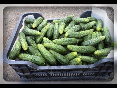 Огурцы. Сорта и гибриды   открытого   теплицы   огурцов   засолки   гибриды   выбрать   салата   огурцы   грунта   сорта