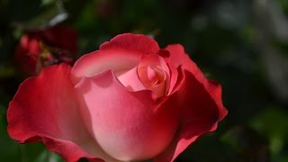 Beautiful Red Rose Flower Collection - HD (720p - 1080p)