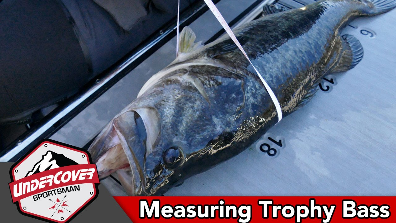 Measuring Fish for Taxidermy