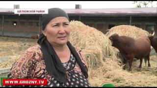 Развитие животноводства в Чечне идет ускоренными темпами