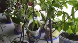 Growing your own Ghost Chili Peppers.