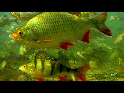 Relaxation underwater video (not for fishermen :) Biggest in the world freshwater fish tank full HD!