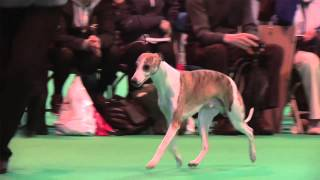 Crufts 2014 - Whippet Best of Breed