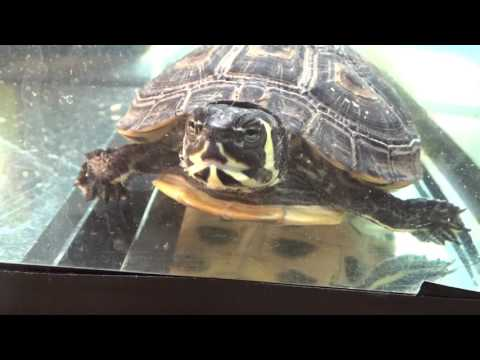 My Aquatic Turtle | Yellow-Bellied Slider (Trachemys scripta scripta) land and water turtle