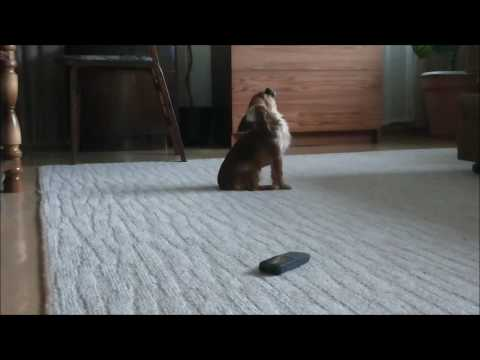 Small dog singing
