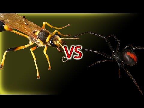 Tarantula Hawk Wasp vs. Spider صراع الحشرات