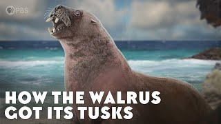 How the Walrus Got Its Tusks