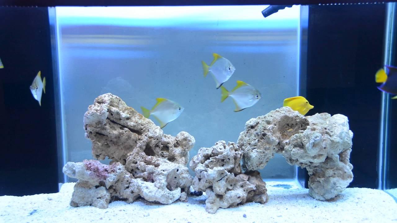 mono fish yellow tang passer angel and polleni grouper youtube