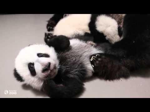 Both Toronto Zoo Giant Panda Cubs With Mom, Er Shun.
