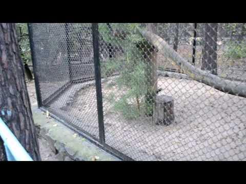Кормление манулов в Новосибирском зоопарке