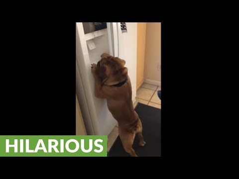 Smart dog knows how to work refrigerator's ice machine
