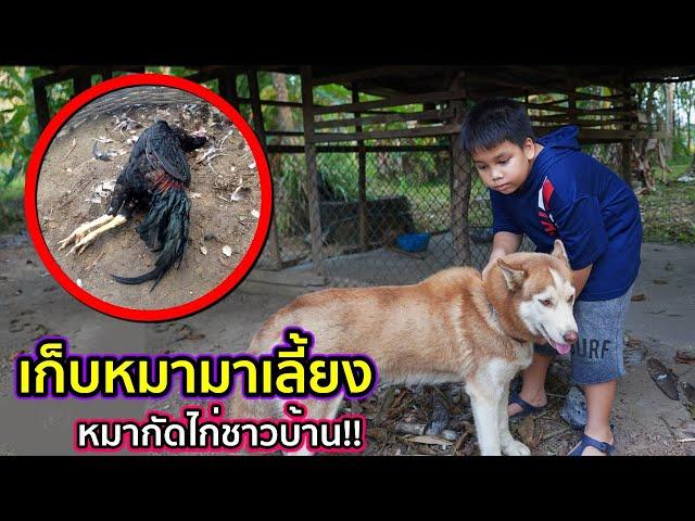 เก็บหมามาเลี้ยง แต่หมาไปกัดไก่ชาวบ้าน ละครสอนใจเลี้ยงหมาอย่าให้เดือดร้อนคนอื่น | คิดดีทีวี