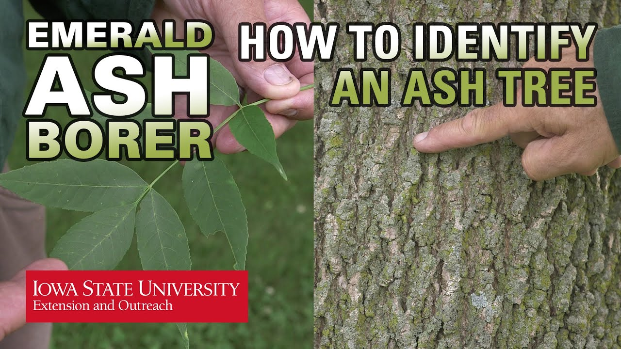 How To Identify An Ash Tree Youtube