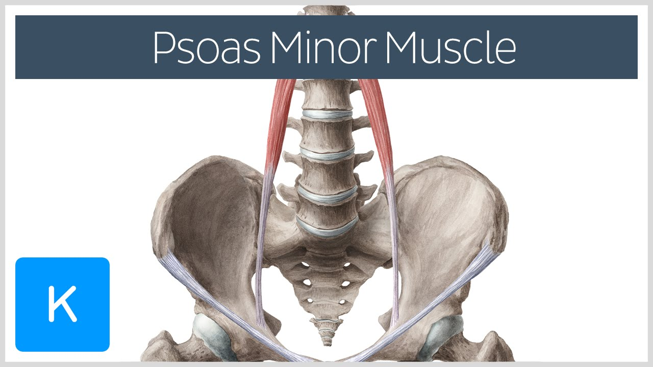 Psoas Minor Muscle Origin And Insertion Human Anatomy Kenhub