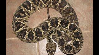 Eastern Diamondback Rattlesnake owned by Axsisdnied