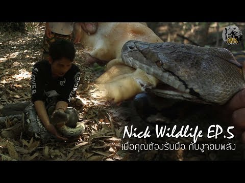 Nick Wildlife EP.5 งูกัดงูรัดต้องทำอย่างไร? ...เมื่อต้องรับมือกับงูจอมพลัง