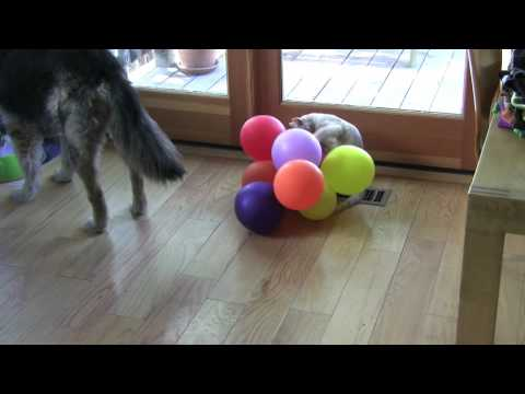 Kitten vs. Balloons vs. Nervous Dog