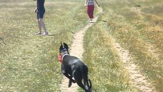 Greyhound and Whippet x staffie off lead