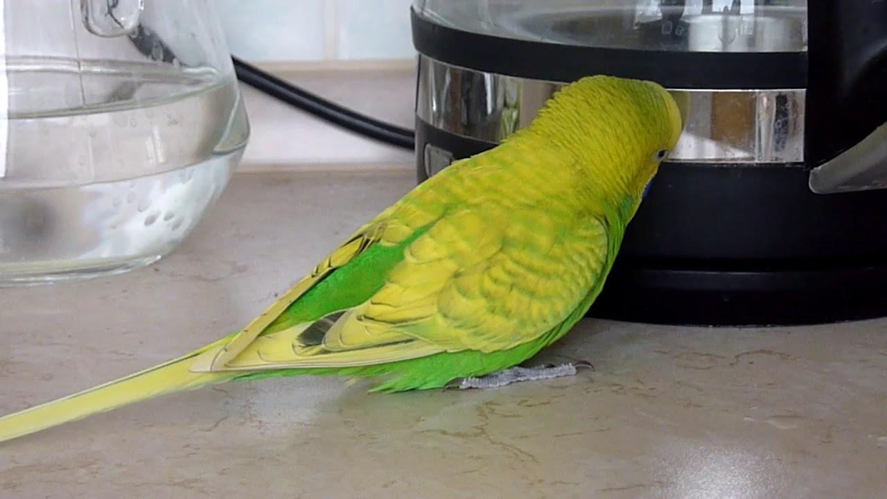 Из рук в руки попугаи в москве. Купить попугая в москве: какаду, волнистые попугайчики, неразлучники, ара, корелла частные и коммерческие.