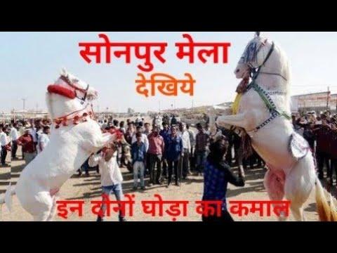 Sonpur Mela 2018 : सोनपुर मेला में दिखा रहे है सिर्फ घोड़ा का बाजार
