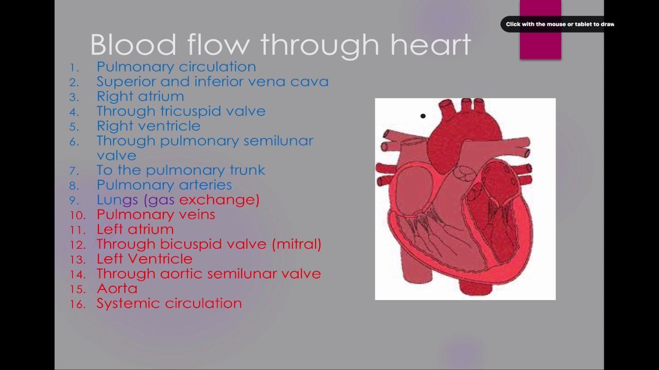 007b Heart Anatomy Youtube