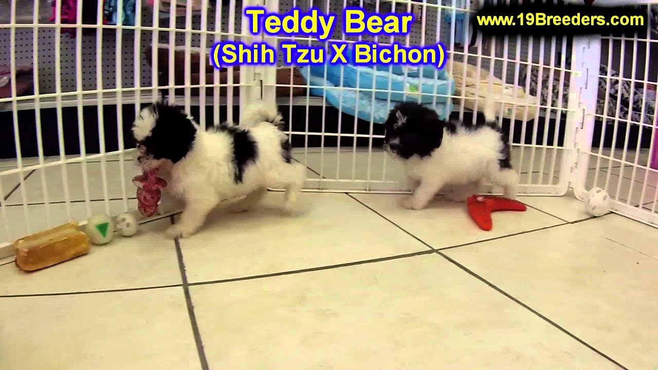 Teddy Bear Puppies For Sale In Kansas City Missouri Mo
