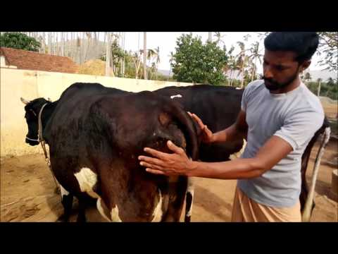 ABS PIONEER Daughter in Milk (1st Lactation) - YouTube