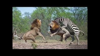 HUNTER BECOMES THE HUNTED - Mother Zebra Save Her Newborn From Lion , Giraffe vs Lion #1