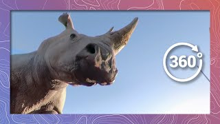 Kissed and Hoovered by a White Rhino in 360 5K thumbnail