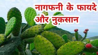 Nagfani(Prickly Pear) Benefits And Side Effects    नागफनी के फायदे और नुकसान    Sonam's Lifestyle   
