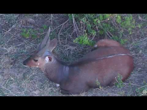 Tired Bushbuck on Africa Animals cam. 18 January 2017