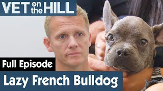 🐶 French Bulldog Puppy Has Stopped Playing Around | FULL EPISODE | S03E13 | Vet On The Hill