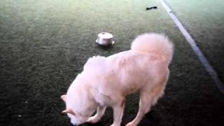 Adopted--white Husky / Jindo / Akita Handsome Dog Kismet Looking For Home / Adoption