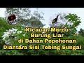 Kicau Burung Liar Di Pagi Hari Yang Merdu Pancingan Untuk Burung Yang Macet Bunyi  Mp3 - Mp4 Download