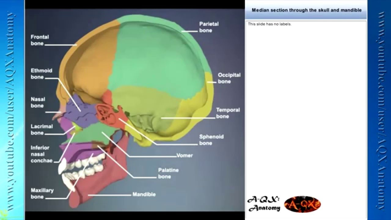 Human Anatomy Illustration 3d Head And Neck Youtube
