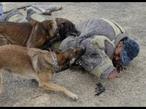 Top 10 Biggest Guard Dogs in the World   2017