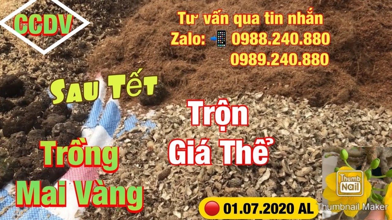 Cách Thay Phân Cho Cây Mai Sau Tết ||CCDV.