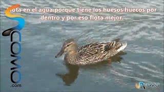 Cómo nadan los patos
