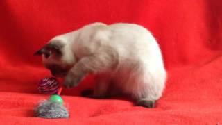 Купить шотландского котенка? Котята для Вас! Шотландские котята редких и классических окрасов.