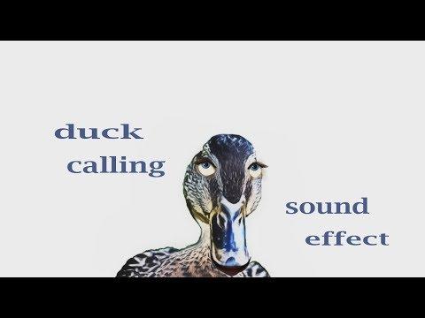 How A Mallard Duck Calling Sound Effect - Animation