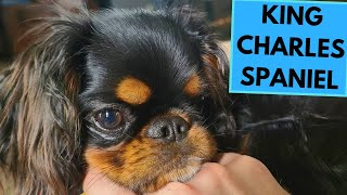 English Toy Spaniel  King Charles Spaniel  TOP 10 Interesting Facts