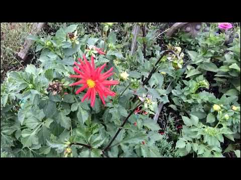 Любимый цветок осени