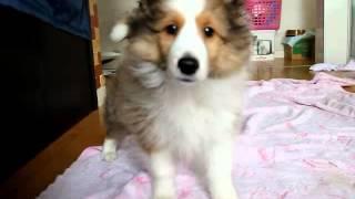 関西シェルティ子犬販売ページ→ http://www.at-breeder.net/shetland_sh...