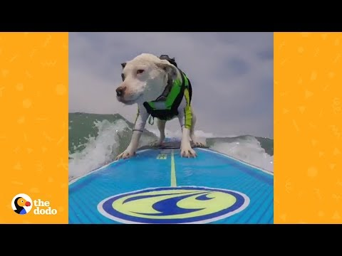 Pit Bull Found In Parking Garage Becomes Surfing Pro | The Dodo