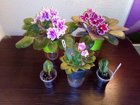 Все этапы развития фиалки до цветения. Состав удобрения для фиалки.