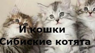 Сибирские котята и кошки.