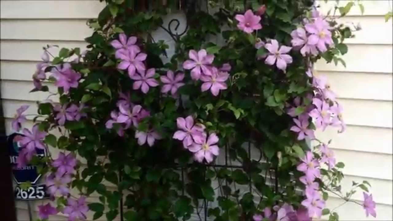 beautiful purple clematis vine flowers